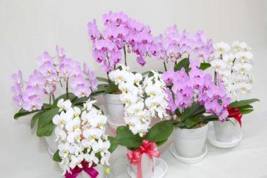 鉢物の管理方法 (1)胡蝶蘭